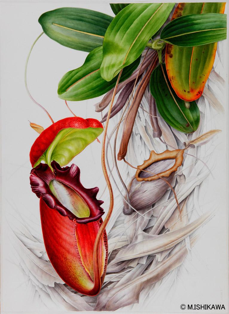 Gadenet(ガデネット)石川 美枝子植物画 Nepenthes rajah ネペンテス・ラジャ