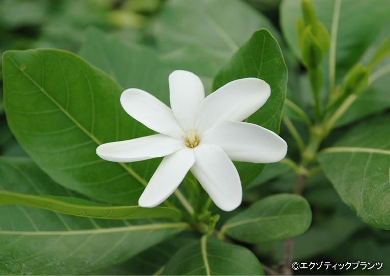 Gadenet(ガデネット)エクゾティックプランツ紹介ページ ハワイアンプランツで人気のティアレ・タヒチ(Gardenia taitensis)
