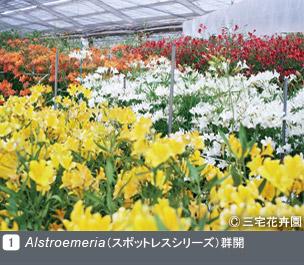 Gadenet(ガデネット)NURSERIES vol.1 三宅花卉園Alstroemeri a( スポットレスシリーズ)群開