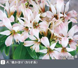Gadenet(ガデネット)NURSERIES vol.1 三宅花卉園A. '桃かほり(' カリオ系)
