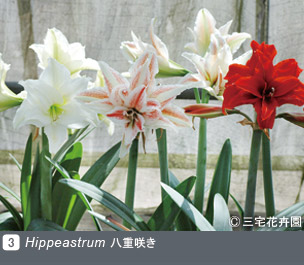 Gadenet(ガデネット)NURSERIES vol.1 三宅花卉園Hippeastrum 八重咲き