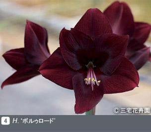 Gadenet(ガデネット)NURSERIES vol.1 三宅花卉園H. 'ボルゥロード'
