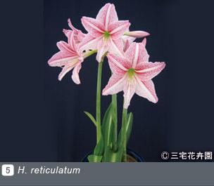 Gadenet(ガデネット)NURSERIES vol.1 三宅花卉園H. reticulatum