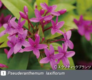 Gadenet(ガデネット)NURSERIES vol.2 エクゾティックプランツPseuderanthemum laxiflorum