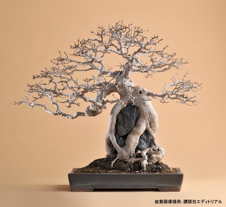新連載!盆栽に自然を見る  ー唐楓(三角楓)ー