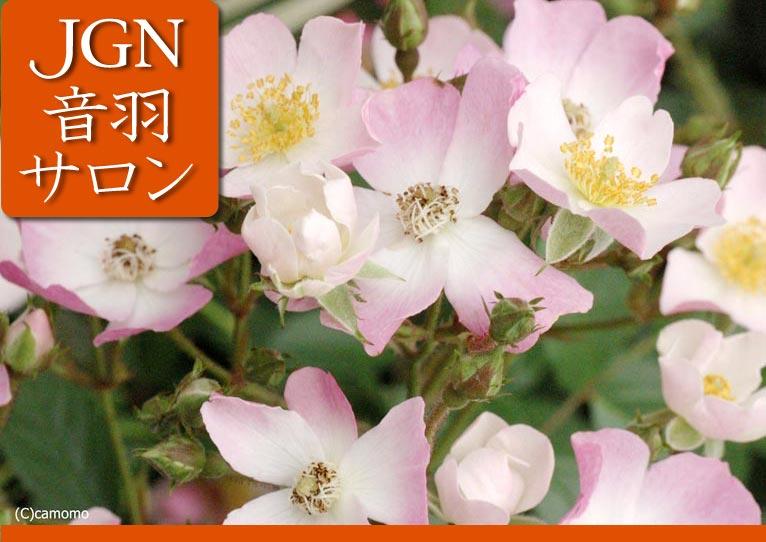 2016年11月19日第5回JGN音羽サロン『秘密にしたいバラ・売りたくないバラ』講師:JGN創立メンバー 田中敏夫氏