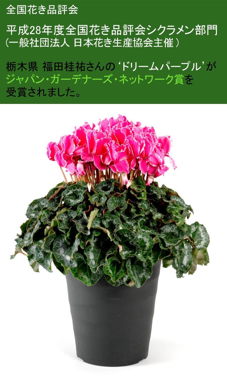 全国花き品評会 平成28年度全国花き品評会シクラメン部門(一般社団法人日本花き生産協会主催) 栃木県 福田桂祐さんが'ドリームパープル'がジャパン・ガーデナーズ・ネットワーク賞を受賞されました。