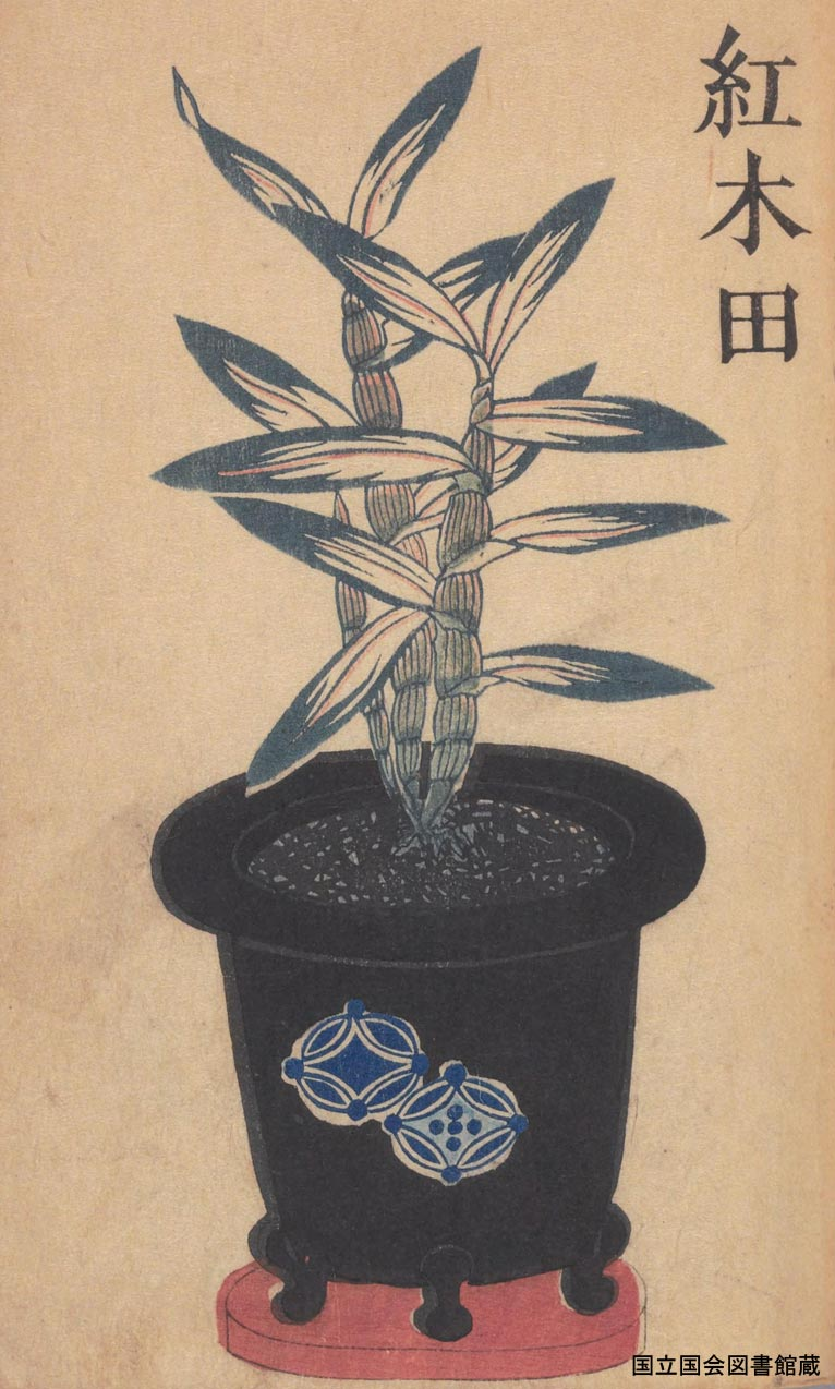 Saturday 25 March 2017 The 7th Otowa Salon Planting lesson Japanese traditional plants 'Chosei-ran'  'Benikida' in the old picture book 'Chosei-sou' published by  Akiotei-owner in 1835