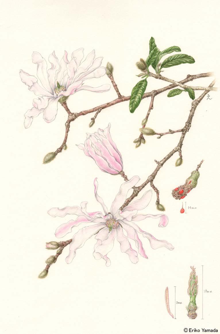 やまだえりこ植物画シデコブシ(モクレン科)