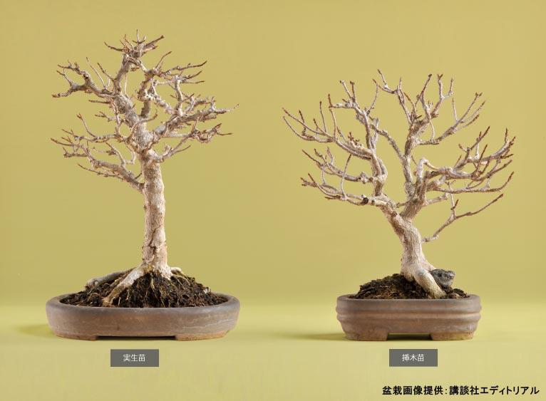九霞園二代目園主 村田勇さんの連載「盆栽に自然を見る」第2回 ~実生苗と挿木苗~