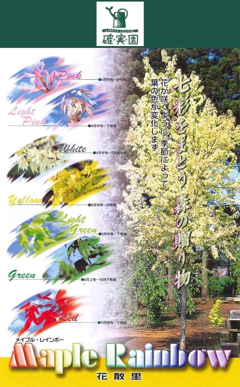 確実園園芸場花散里 メイプル・レインボー七彩をまとう森の贈り物 花が咲くように、季節によって葉の色が変化します。