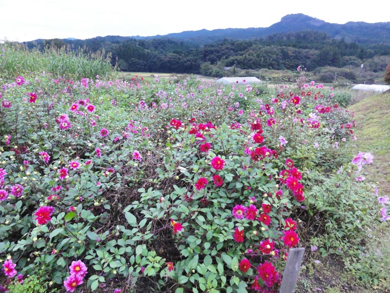 NURSERIES vol.5矢祭園芸修景用ダリアの栽培風景