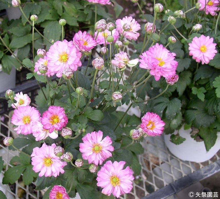 NURSERIES vol.5矢祭園芸Anemone'葵祭'