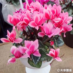 NURSERIES vol.5矢祭園芸Cyclamen percicum'チモ リップスオレンジ'