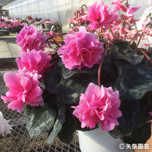 NURSERIES vol.5矢祭園芸Cyclamen percicum'ローゼス ローズ'