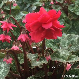 NURSERIES vol.5矢祭園芸Cyclamen percicum'ローゼス レッド'