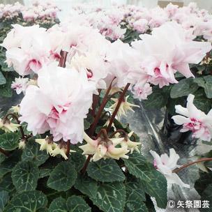 NURSERIES vol.5矢祭園芸Cyclamen percicum'ローゼス ピンクバイカラー'