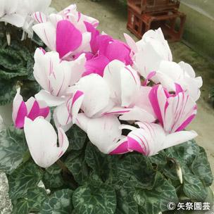 NURSERIES vol.5矢祭園芸Cyclamen percicum'シューティングスター 慶'