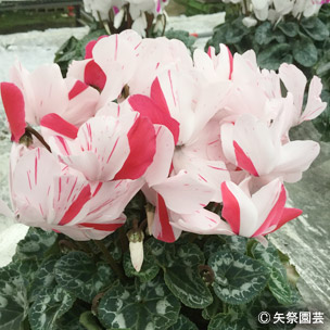 NURSERIES vol.5矢祭園芸Cyclamen percicum'シューティングスター 寿'