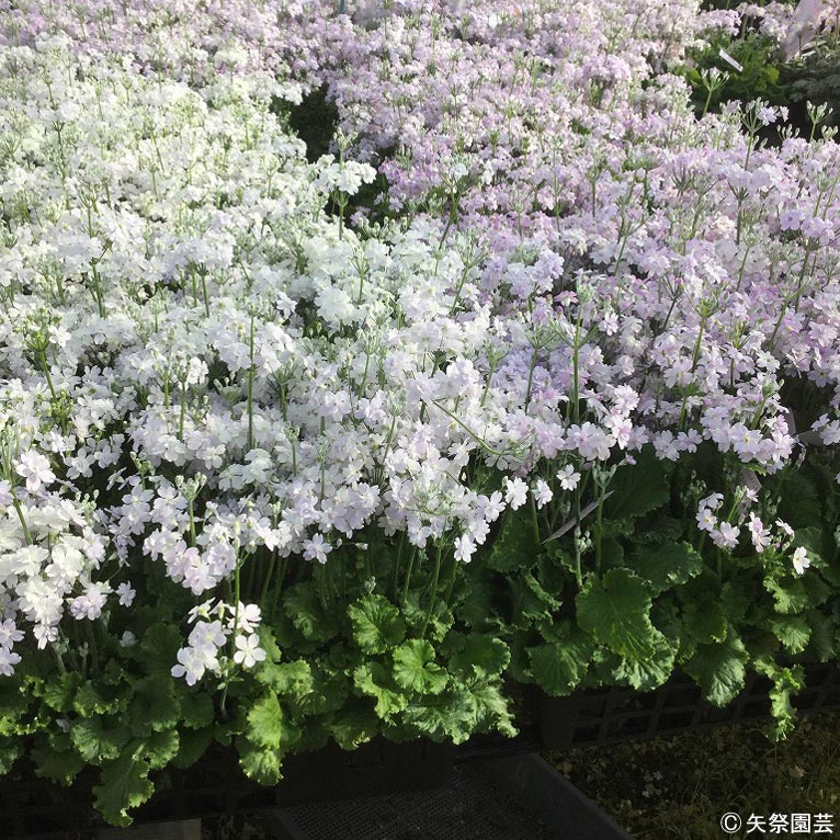 NURSERIES vol.5矢祭園芸Primula malacoides'メローシャワー'&'メロードリーム'