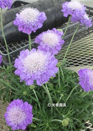 NURSERIES vol.5矢祭園芸 Scabiosa'Giga'