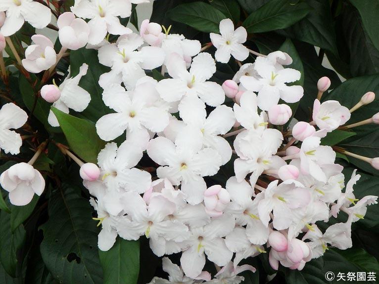 NURSERIES vol.5矢祭園芸 Lucria pinceana (white)