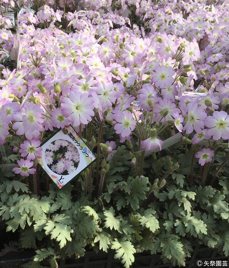 NURSERIES vol.5矢祭園芸 Primula filchnerae