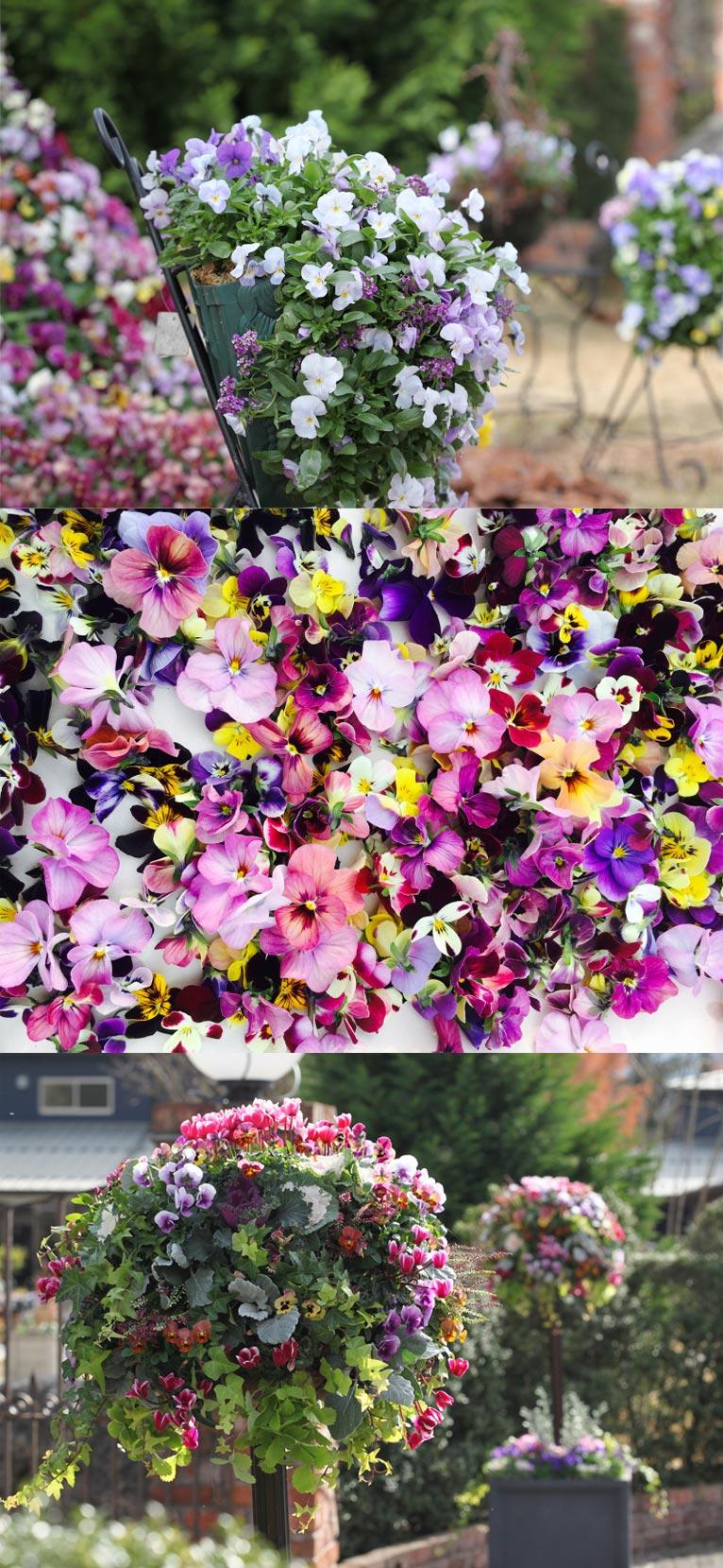 2017年3月22日~4月16日パンジービオラフェスティバル200種類以上!美しい育種ビオラの世界ROSE & BERRY Tawadaローザンベリー多和田