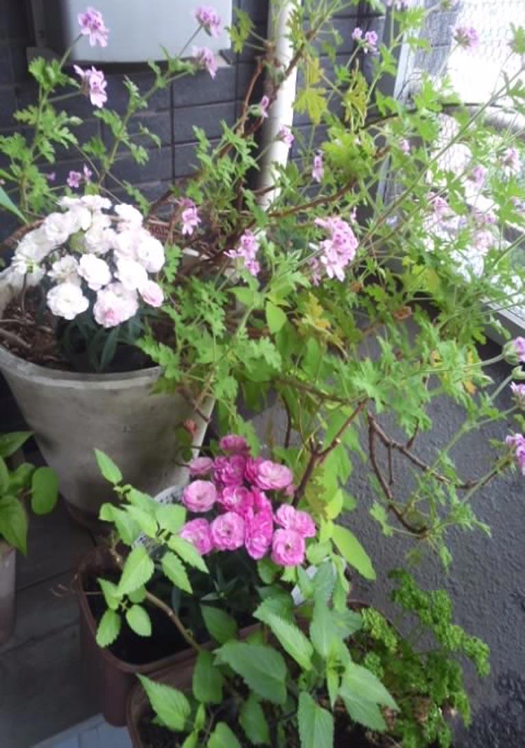 矢祭園芸様が育種された苗ご提供ガーデンカーネーション「マジカルチュチュシリーズ」が届きました中山孝子