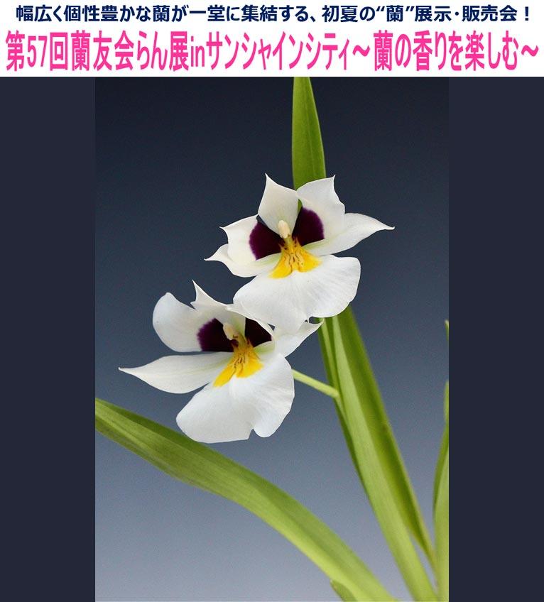 2017年6月1~4日 第57回蘭友会らん展inサンシャインシティ ~蘭の香りを楽しむ~