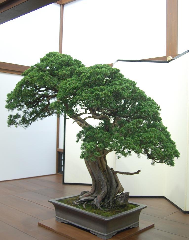 第8回世界盆栽大会inさいたま「日本の盆栽水石至宝展」に行ってきました!真柏(推定樹齢600年)鼠長方盆(常滑焼)