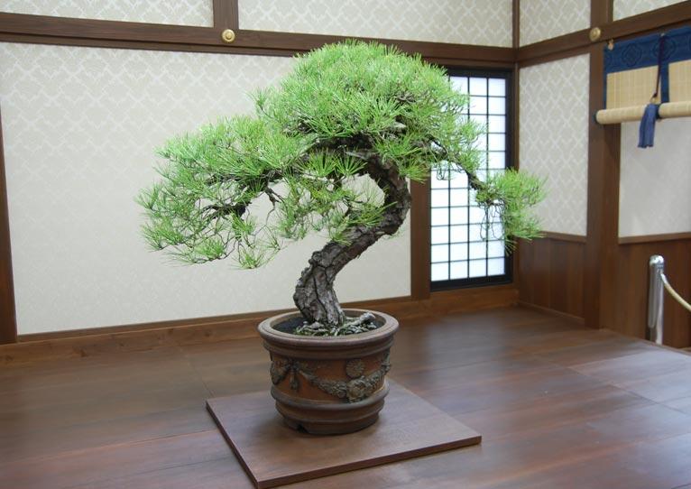 第8回世界盆栽大会inさいたま「日本の盆栽水石至宝展」に行ってきました!黒松(推定樹齢130年)御紋章円盆(琉球焼)