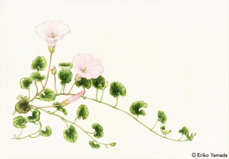 やまだえりこ植物画 ハマヒルガオ