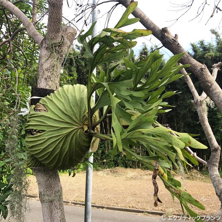 NURSERIES vol.2 エクゾティックプランツ この植物に注目!青山ガーデニングフェアで販売予定!人気の観葉植物ビカクシダ リドレー