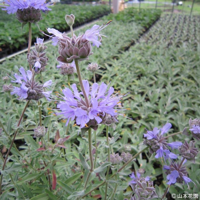NURSERIES vol.4 山本花園 この植物に注目!青山ガーデニングフェアで販売予定!茎の周りにリング状に花をつける サルビア クレベランディー