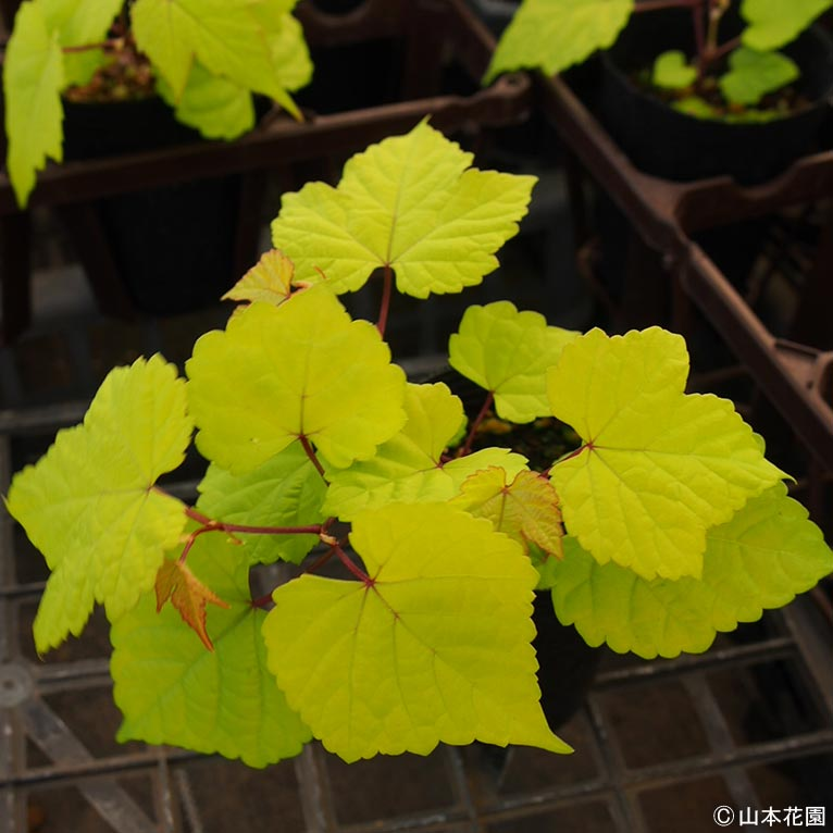 NURSERIES vol.4 山本花園 この植物に注目!青山ガーデニングフェアで販売予定!まだ市場に出荷していない貴重品 ノブドウ オーレア