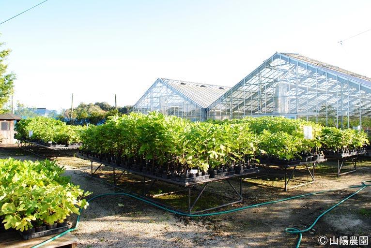 NURSERIES vol.9 山陽農園  温室とその前に並ぶイチジクのポット苗