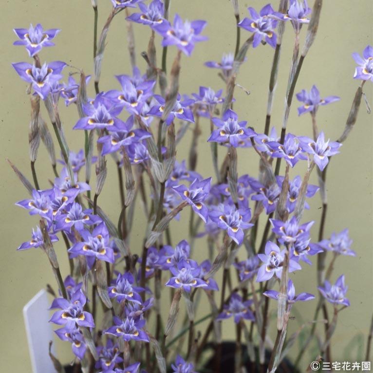 NURSERIES vol.1 三宅花卉園 この植物に注目!青山ガーデニングフェアで販売予定!新顔の球根植物モレア セティフォリア