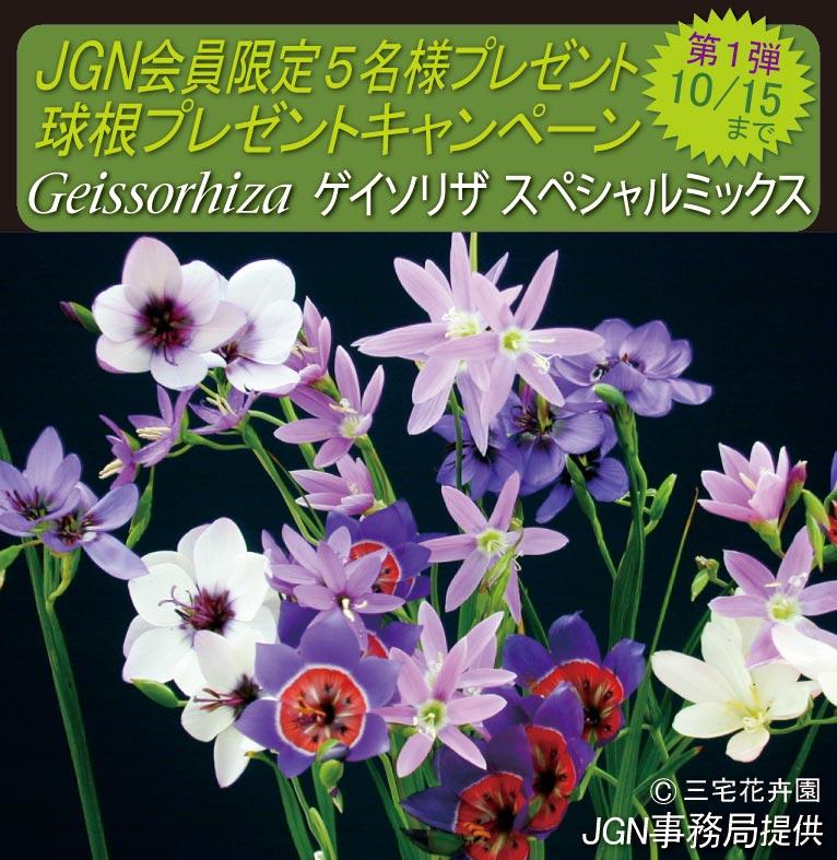 2017年10月4~15日 JGN会員限定 球根プレゼントキャンペーン 第一弾  Geissorhiza ゲイソリザ スペシャルミックス 5名様