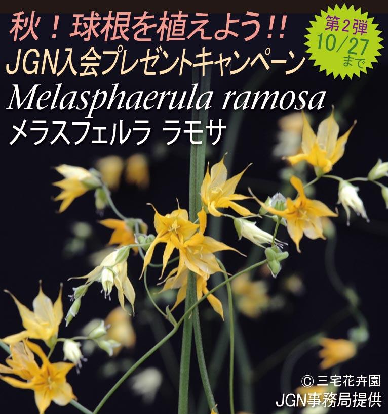 2017年10月16~27日 秋!球根を植えよう!! 秋のJGN入会プレゼントキャンペーン Melasphaerula ramosa メラスフェルラ ラモサ