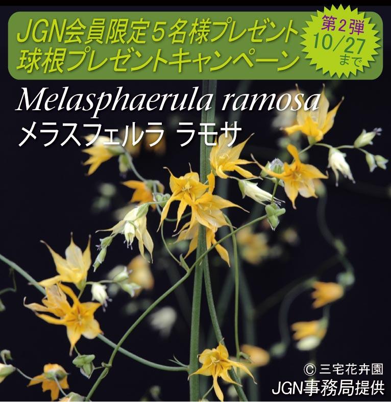 2017年10月16~27日 JGN会員限定 球根プレゼントキャンペーン 第二弾 Melasphaerula ramosa メラスフェルラ ラモサ 5名様