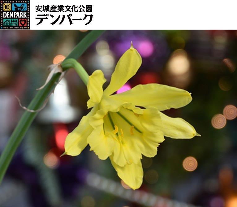 2017年11月23日~12月上旬(予定) デンパーク『珍しい花の開花情報』 パラモンガイア Paramongaia weberbaueri(ヒガンバナ科)