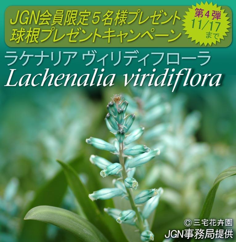 2017年11月7日~11月17日 JGN会員限定 球根プレゼントキャンペーン 第四弾 Lachenalia viridiflora  ラケナリア ヴィリディフローラ 5名様