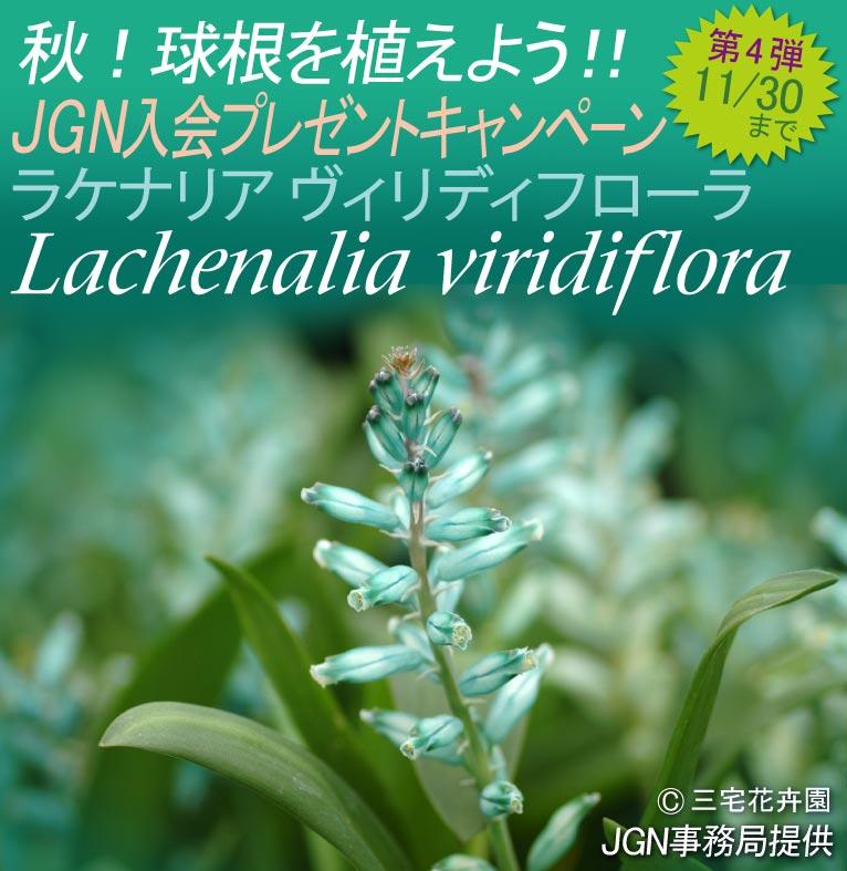 2017年11月7日~11月17日 秋!球根を植えよう!! 秋のJGN入会プレゼントキャンペーン Lachenalia viridiflora ラケナリア ヴィリディフローラ