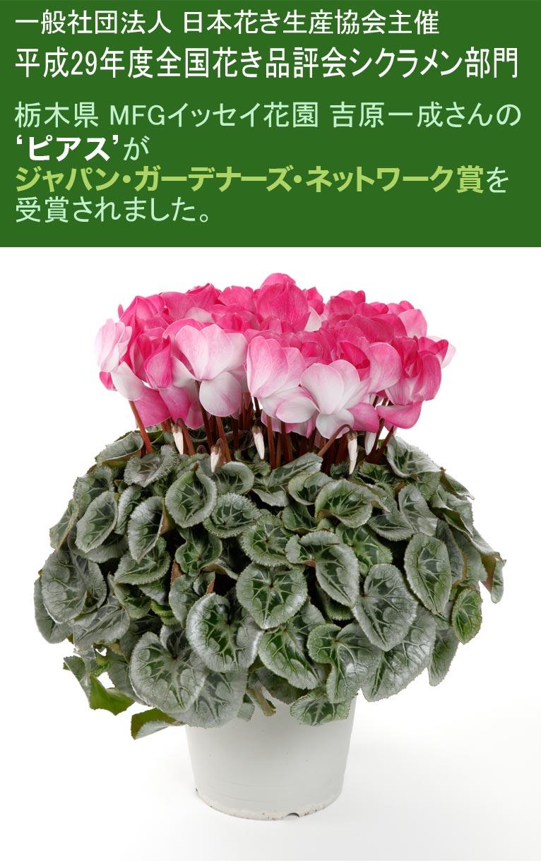 一般社団法人 日本花き生産協会主催 平成29年度全国花き品評会シクラメン部門 栃木県 MFGイッセイ花園 吉原一成さんの'ピアス'がジャパン・ガーデナーズ・ネットワーク賞を受賞されました。
