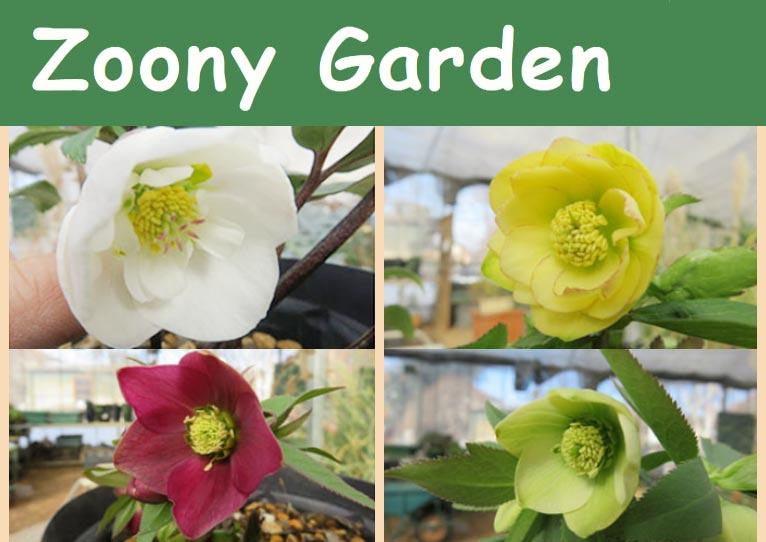 2018年1月~植物販売情報★クリスマスローズが咲き始めました! Zoony Garden ズーニィ・ガーデン