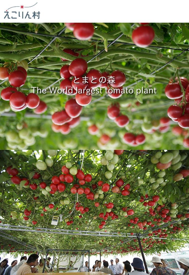 トマトの森 えこりん村 一粒の種から水耕栽培で育てる2013年11月10日に 世界一大きなトマトの木「The largest tomato plant」として世界記録に認定
