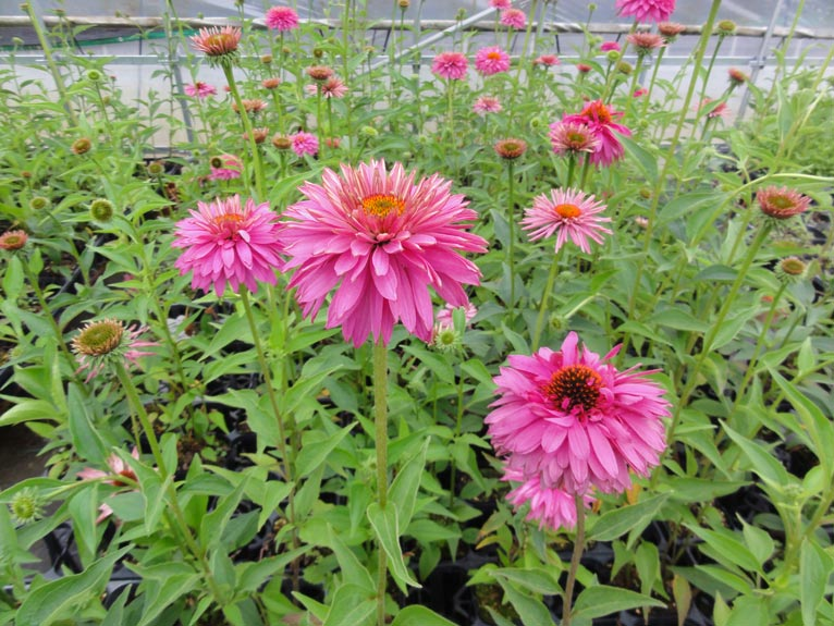 NURSERIES vol.13 はるはなファーム Echinacea 'Circle Forest'