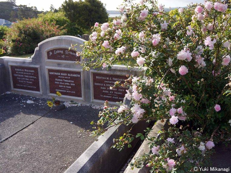 植物百般 インタビュー「ニュージーランドのバラ事情」JGN創立メンバー千葉県立中央博物館主任上席研究員/生物多様性センター 御巫由紀 墓所で咲き誇るバラ