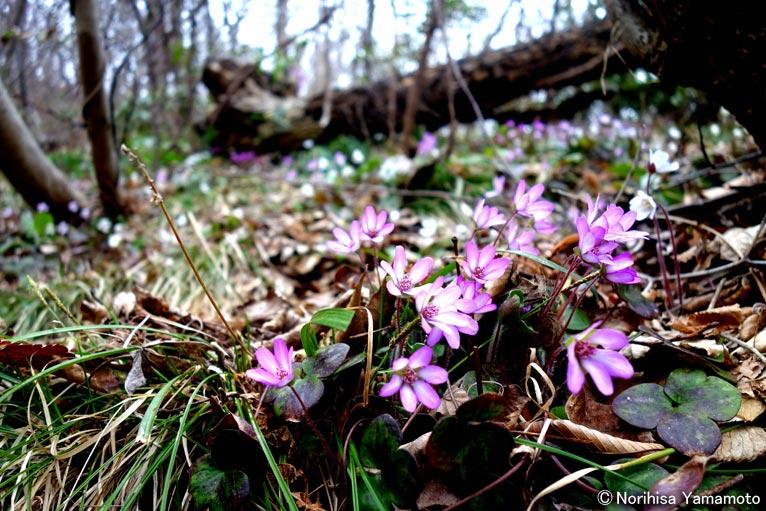3月29日、能登半島の猿山岬で満開の雪割草を見てきました。野生の素晴らしさに感動です!JGN創立メンバー 山本 紀久